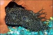 аквариумные рыбки - анцитрус простой