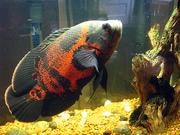 аквариумные рыбки - астронотус