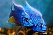 аквариумные рыбки - васильковый хаплохромис