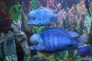 аквариумные рыбки - дельфин голубой