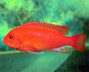 аквариумные рыбки - красная зебра
