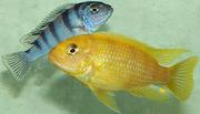 аквариумные рыбки - псевдотрофеус ломбардо
