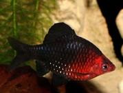 аквариумные рыбки - черный барбус