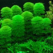 Аквариумные растения - амбулия
