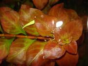 Аквариумные растения - людвигия ползучая (красный диамант)