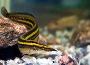 Аквариумные рыбки - Макрогнатус глазчатый