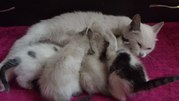 Пристраивается кошка и 4 котенка