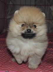 продам умного красивого померанского щенка