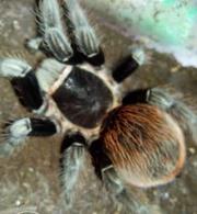 Продаю малышей L2-4 пауков птицеедов вида Brachypelma vagans