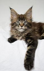 Котята мейн кун из питомника Mainemarie