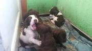 Продаю щенков спаниеля,  от рабочих родителей.